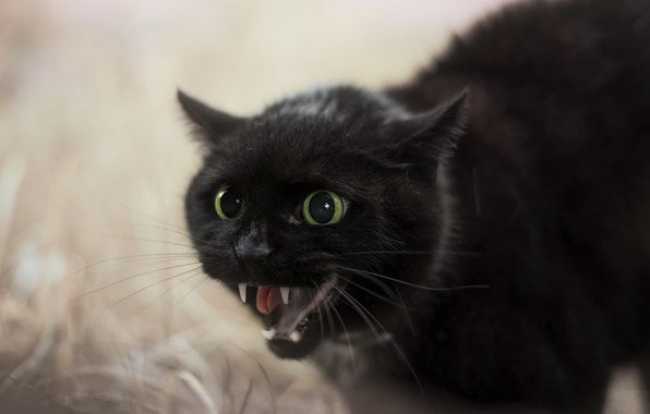 Picture cat, mouth, beast
