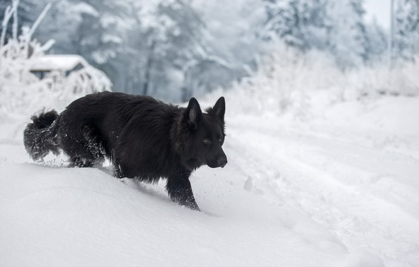 Picture winter, snow, dog, German shepherd, Svetlana Pisareva