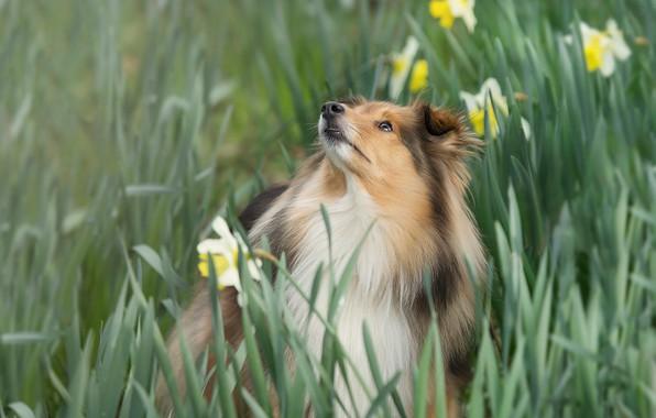 Picture flowers, dog, daffodils, Sheltie, Shetland Sheepdog
