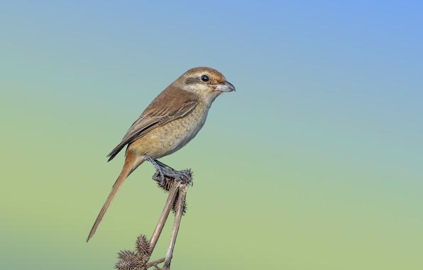 Picture bird, thorn, Isabelline Shrike