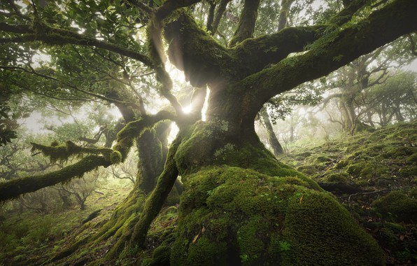 Picture forest, rays, light, trees, nature, tree, moss