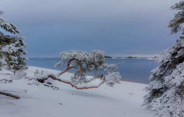 Picture winter, snow, trees, landscape, nature, lake, pine, Ladoga, Vaschenkov Pavel