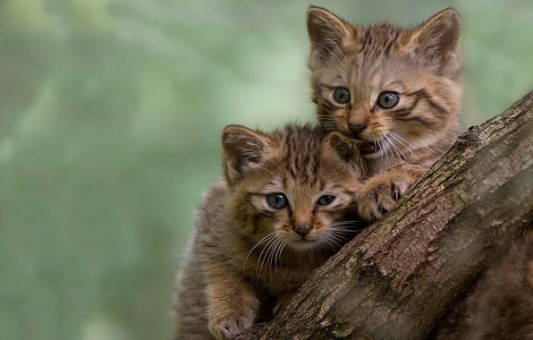 Picture pussies, bites, blurred background, the trunk of the tree, play, two kittens