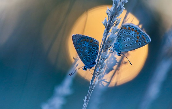 Picture the sun, macro, butterfly, a couple, a blade of grass, Blue