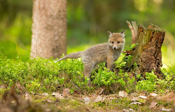 Picture greens, forest, grass, look, leaves, nature, pose, background, tree, stump, spring, small, baby, Fox, Fox, …