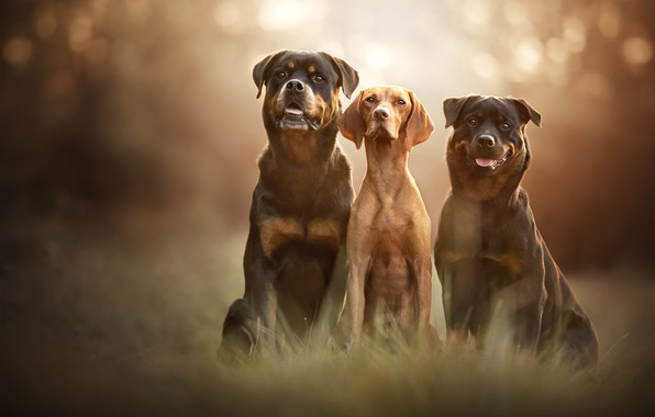 Picture language, dogs, grass, look, light, nature, pose, background, friendship, three, trio, friends, muzzle, bokeh, sitting, …