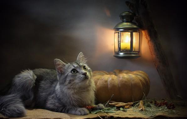 Picture cat, cat, look, leaves, light, animal, candle, lantern, pumpkin, burlap, Kovaleva Svetlana, Svetlana Kovaleva