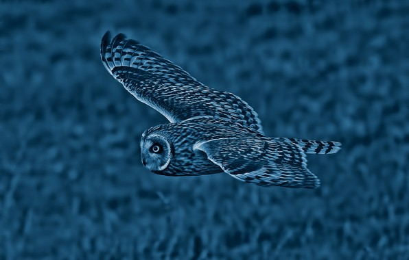 Picture owl, bird, wings, flight, Short-eared owl