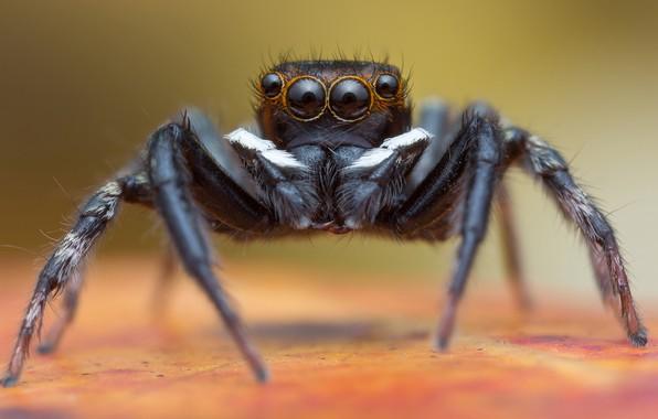 Picture look, macro, background, black, spider, jumper, jumper, spider, sakunik, Bouncing