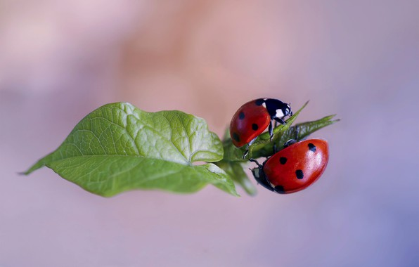 Picture macro, nature, sheet, bugs, a couple, ladybugs, Rina Barbieri