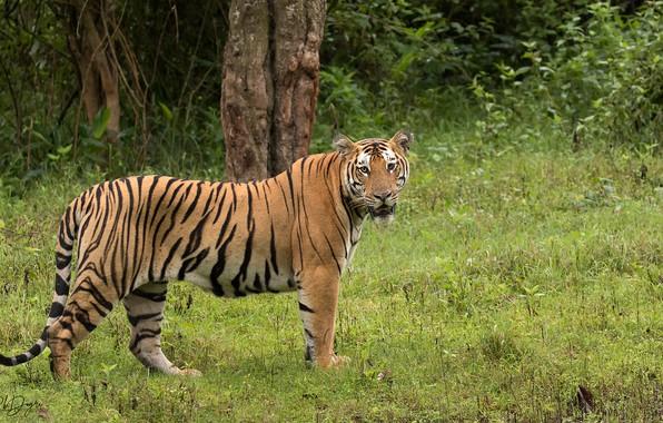 Picture greens, nature, tiger, Rakesh Kumar Dogra