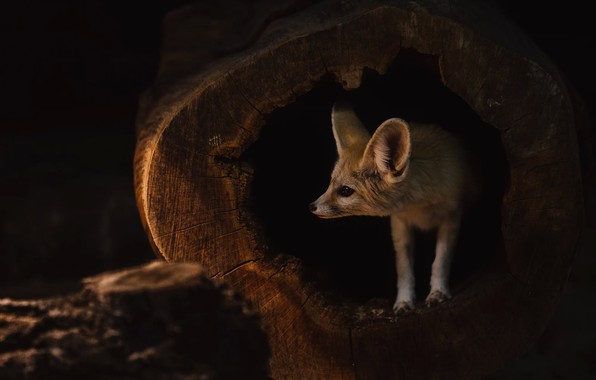 Picture look, face, darkness, the dark background, stump, hole, Fox, twilight, Fenech, Peeps, the hollow, Fenech