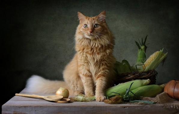 Picture cat, corn, red, the cob, cat