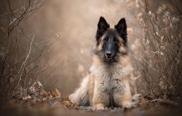 Picture look, branches, dog, Belgian shepherd, Tervuren