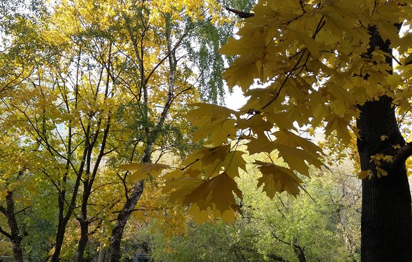 Picture autumn, trees, yellow leaves, October, maple branch