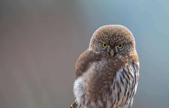 Picture white, close-up, animals, bird, brown, feathers, macro, blur, animal, look, owl, wildlife, yellow eyes, portrait, …
