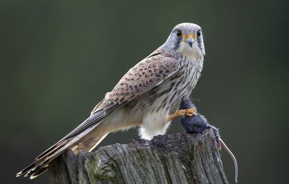 Picture bird, stump, predator, hunting, mining, Kestrel