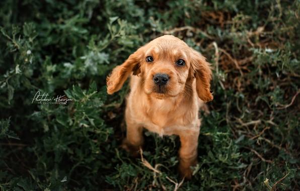 Picture look, puppy, face, doggie, Ekaterina Kikot