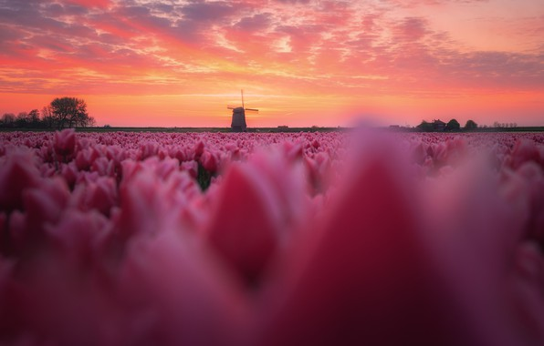 Picture field, flowers, Spring, morning, tulips, Netherlands, windmill