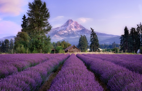 Picture trees, landscape, flowers, mountains, the fence, house, lavender, lavender field