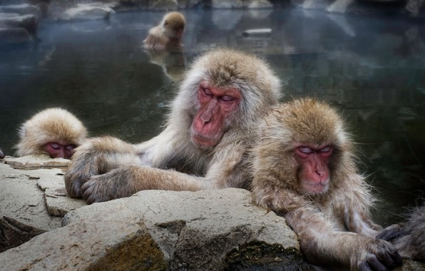 Picture stones, macaques, stay, sleep, bathing, monkey, monkey, pond, muzzle, sleep, family, Japanese, Japanese macaques