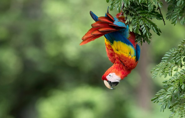 Picture branches, background, bird, parrot, bokeh, Red macaw