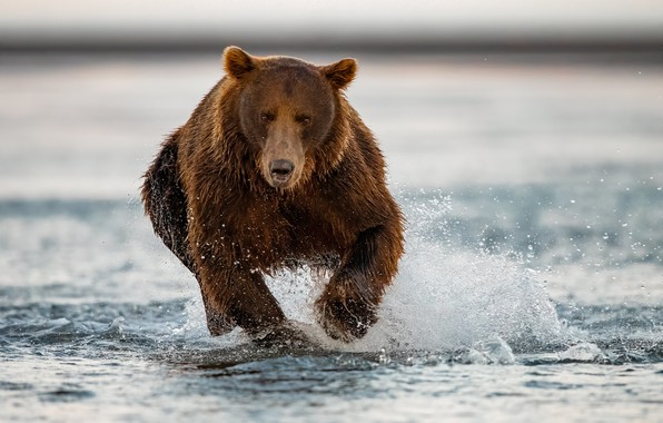 Picture water, squirt, river, bear, running, beast, grizzly