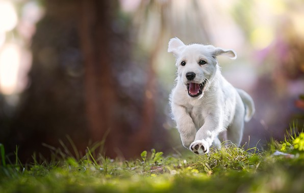 Picture language, white, summer, grass, rays, light, nature, pose, mood, jump, dog, paws, baby, running, mouth, …