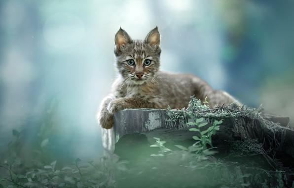 Picture lynx, lynx, Svetlana Pisareva