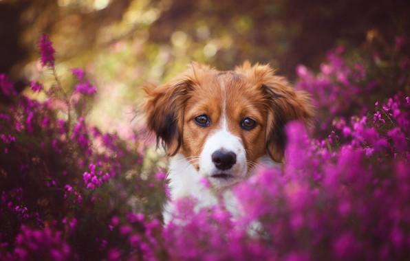 Picture look, face, flowers, nature, background, sweetheart, portrait, dog, puppy, red, pink, bokeh, Heather, kooikerhondje