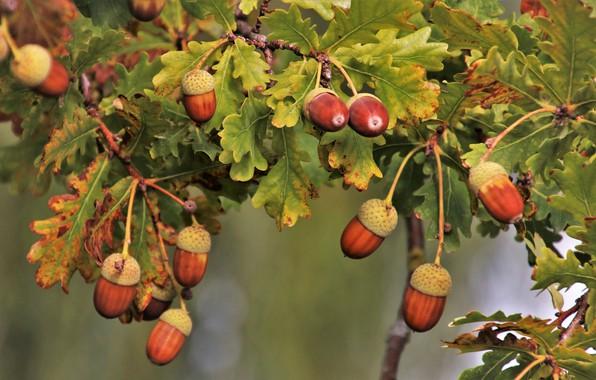 Picture leaves, branches, oak, acorns