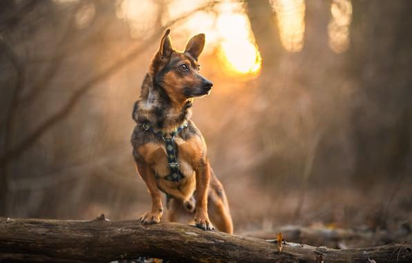 Picture autumn, dog, bokeh