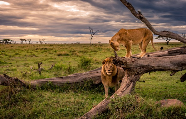 Picture field, grass, tree, Leo, pair, Savannah, Africa, snag, lions, lioness, two
