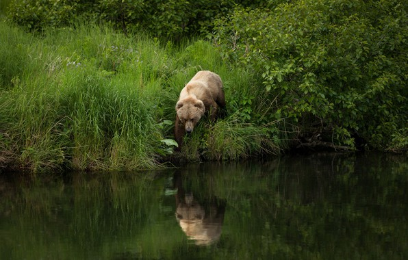 Picture summer, grass, nature, pose, reflection, river, shore, foliage, bear, walk, the bushes, pond, brown, angler, ...
