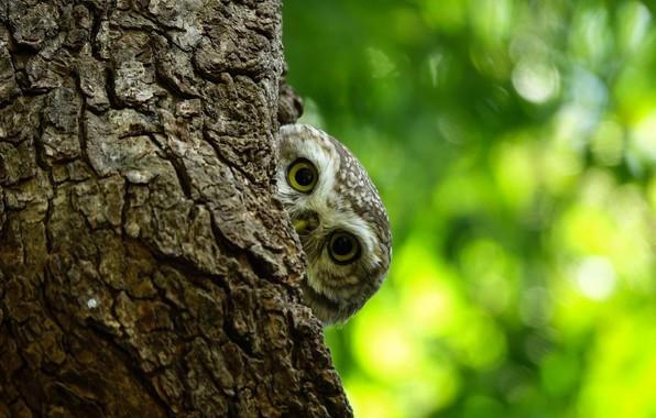 Picture eyes, tree, owl, looks, bokeh