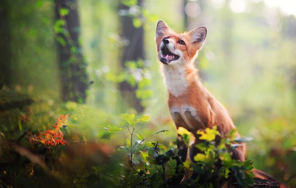 Picture forest, look, leaves, nature, pose, green, background, vegetation, stump, muzzle, mouth, Fox, fangs, sitting, Fox, …