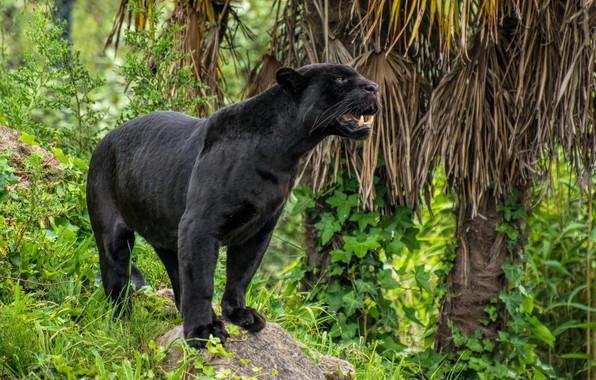 Picture black, predator, Panther, bars
