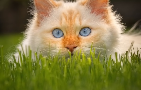 Picture cat, grass, look, muzzle, blue eyes, cat
