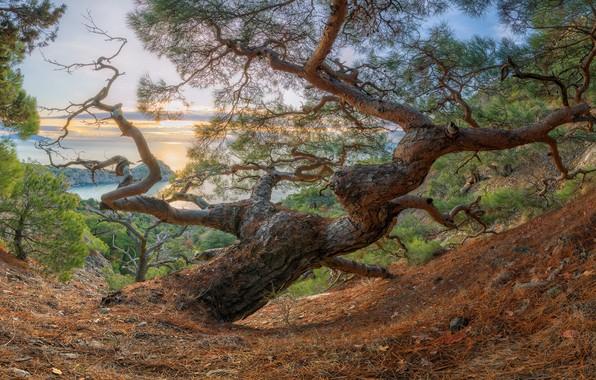 Picture sea, trees, landscape, sunset, mountains, nature, pine, Crimea, New Light, relict grove