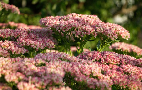 Picture flowers, background, Wallpaper, flower, pink flowers, stonecrop, hare cabbage, small flowers