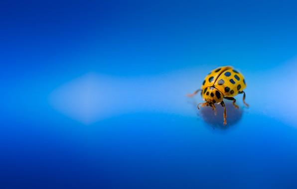 Picture macro, beetle, insect, Ladybug, blue background
