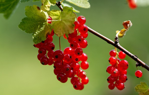 Picture macro, berries, background, branch, red currant, гроздбя