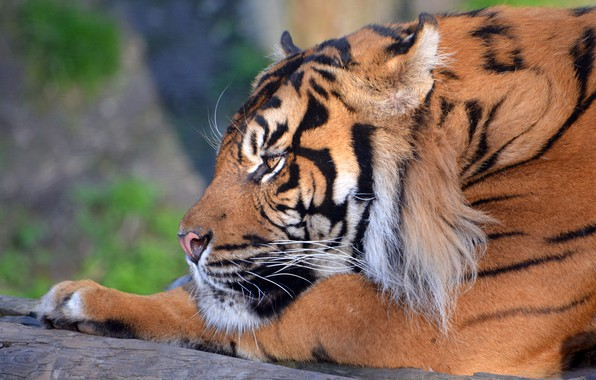 Wallpaper animals, face, tiger, background, widescreen