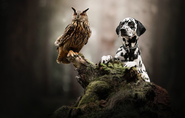 Picture owl, bird, dog, snag, bokeh, owl