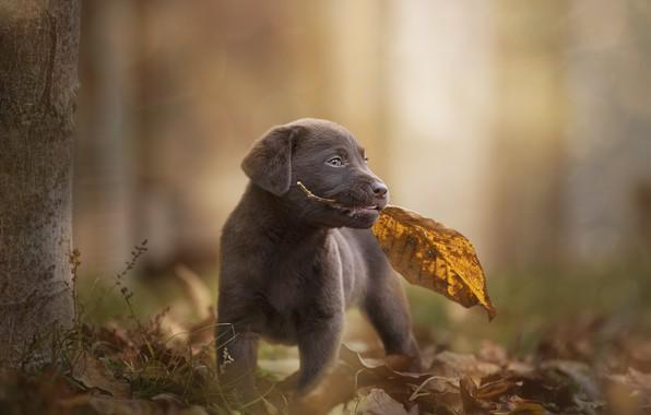 Picture autumn, sheet, dog, baby, leaf, puppy, bokeh, doggie, Labrador Retriever