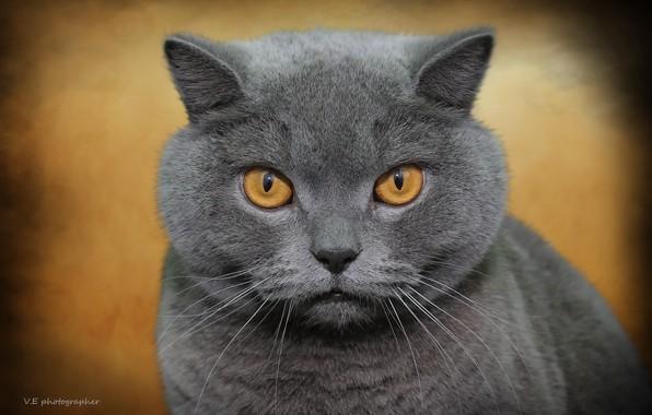 Picture cat, background, British
