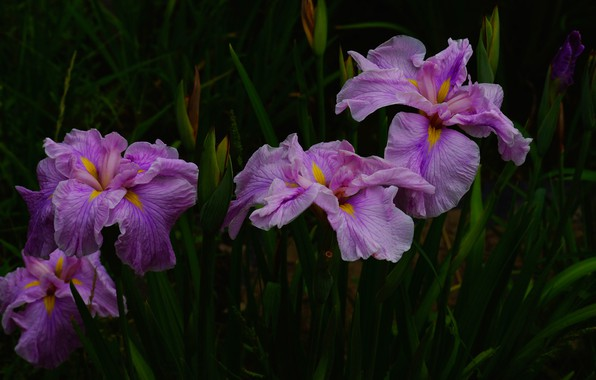 Picture leaves, flowers, the dark background, garden, pink, irises, lilac, iris