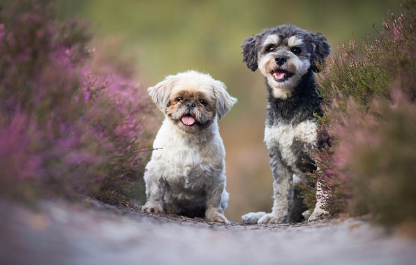 Picture dogs, flowers, pair, a couple, Duo, friends, Heather