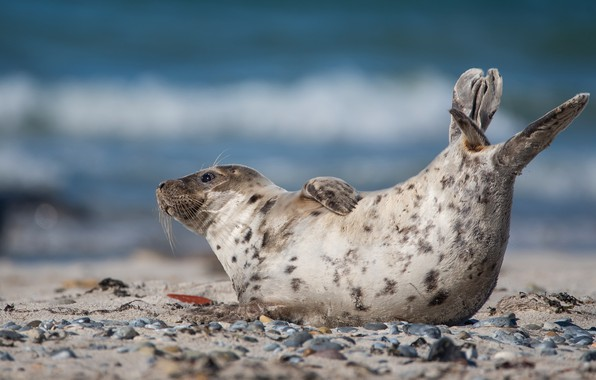 Picture sea, look, pose, pebbles, stones, shore, seal, lies, Navy seal, cub, pond, blue background, ponytail, …