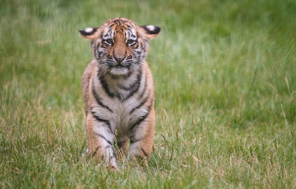 Picture grass, cub, kitty, tiger